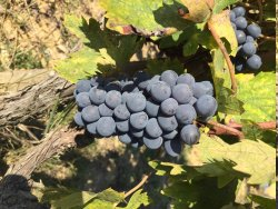 Grape vineyard surrounding the property.