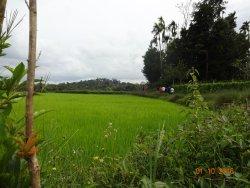 Paddy fields near by