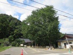 Kinno Big Ginkgo Tree