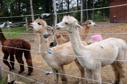 Little Brushwood Alpaca Farm