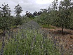 Owl's Rest Olive and Lavender Farm