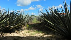 Mayapan Traditional Agave Distillery