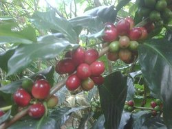 Wedang Sari Coffee Plantation