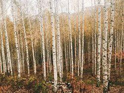 Wondaeri Birch Forest
