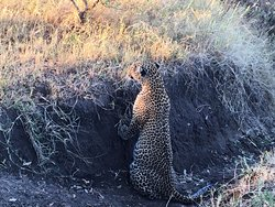 Morning sighting of a leopard