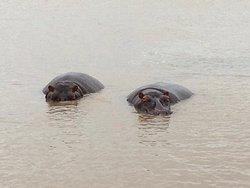 Tolle Bootstour in St. Lucia mit vielen Hippos...