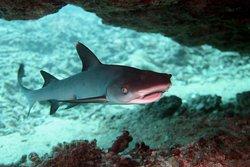 Baby white tip reef shark.