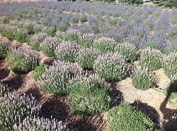 Sprigs & Sprouts Lavender Farm
