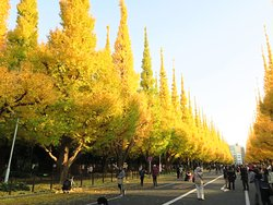 Jingu Gaien Maidenhair Tree-lined Street