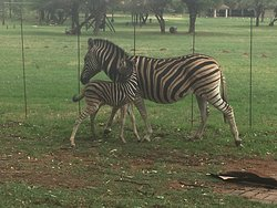 We saw zebras and wildebeest on the resort grounds. Amazing!