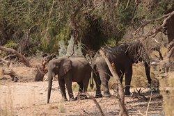 Ugab River - small herd of desert elephants