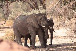 Ugab River - desert elephants