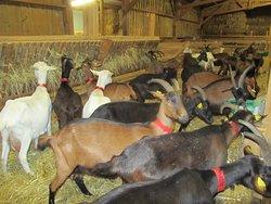La chèvrerie de Bliquetuit