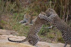 Leopard cubs at play