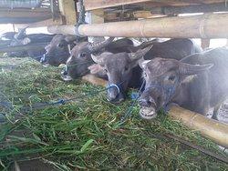 Rantepao Livestock Market