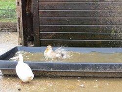 Ducks having a bath