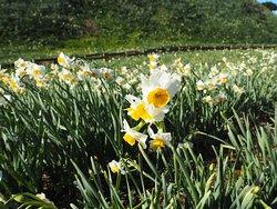 Tsumekizaki Narcissus Festival