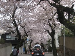 Kobe City NAdaku Cherry Blossoms Tunnel