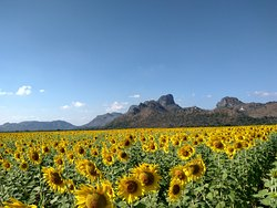 Khao Jeen Lae Sunflower Field