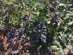 Tuckerberry Hill Blueberry Farm