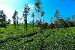 Wayanad Tea Drops