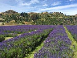 Ben Lomond Lavender