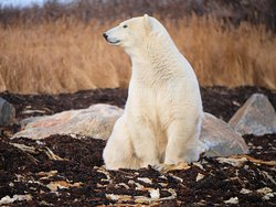 Seal River Fall Polar Bear Photography Tour