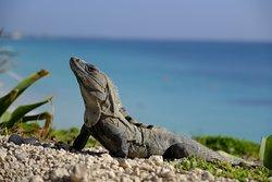 Iguana basking in the morning sun at Ruinas Mayas de Tulum