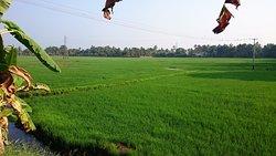 Rice fields behind Hotel