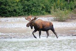 Bull moose up the Stikine River