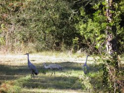‪Mississippi Sandhill Crane National Wildlife Refuge‬
