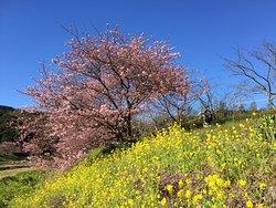 Minamino Cherry Blossom and Nanohana Festival