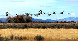 Sand Hill Cranes at Monte Vista Nat'l Wildlife Refuge, Southern CO.