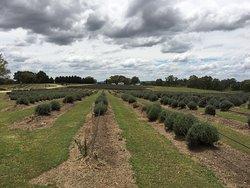 Aloomba Lavender Farm