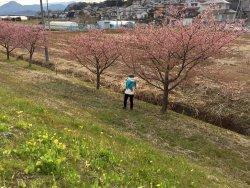Kannami Cherry Blossom Trees