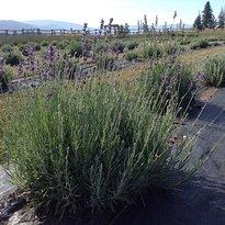 Blue Hills Lavender Farm