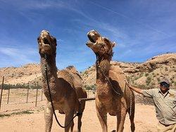Camel Safari Las Vegas