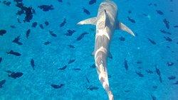 Καταδύσεις Κοντά σε Καρχαρίες