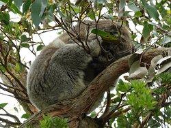 Kafe Koala