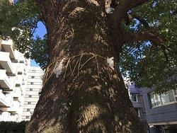 Hongo Yumimachi Camphor Tree