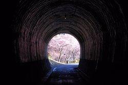 Kawatsu Cherry Blossom Avenue (Shinshiro)