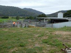 milking sheds