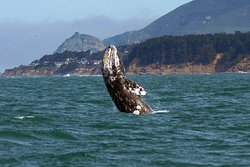 Oceanic Society - Half Moon Bay Gray Whale Watching