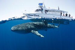 3 Islands Whale Shark Dive