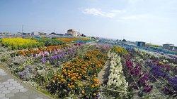 Flower Fields of Chikura-cho