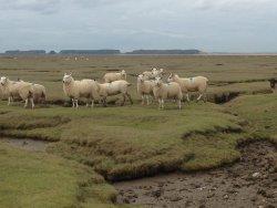 Gower Salt Marsh Lamb