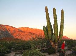 Giant Cordon cactus abundant near ecolodge