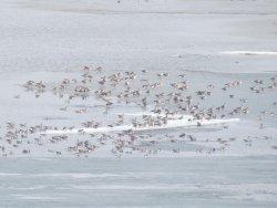 весенний перелет диких гусей