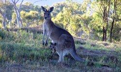 An eastern grey kangaroo and joey on a  hillside at Kooralbyn