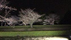 4月5日まで夜8時まで夜桜が楽しめます